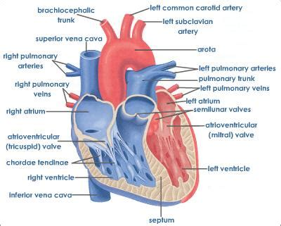 longitudinal section of the human heart 6 2 the transport system ib biology 2 guide