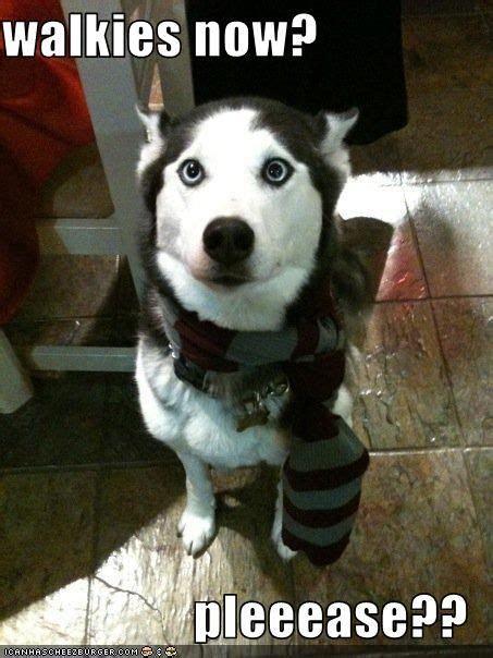 Funny Husky Meme - husky memes lol dogs pinterest