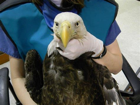 richmond county bald eagle the wildlife center of virginia