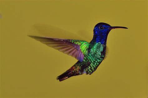 Imagenes Increibles De Colibries | imagenes de caballeros colibries proyecto colibr 237 es