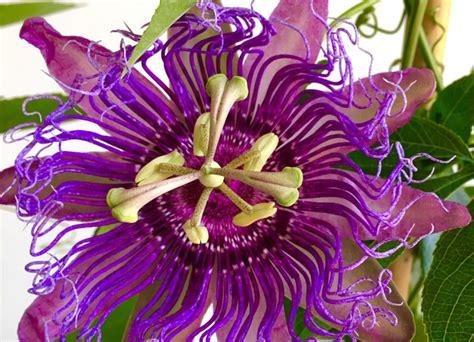 passiflora fiore della passione la passiflora cura e propriet 224 fiore della passione