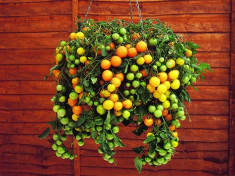 Container Gardening Tomatoes by Try This Grow A Vegetable Garden Four Generations One Roof