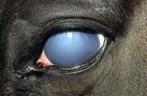 ocular blindness equine uveitis