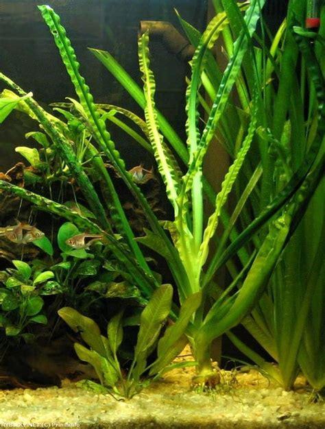 aquascape aquarium plants crinum natans aquascape plants pinterest aquariums