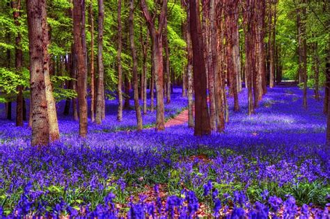 bluebell forest bluebell woods pixdaus