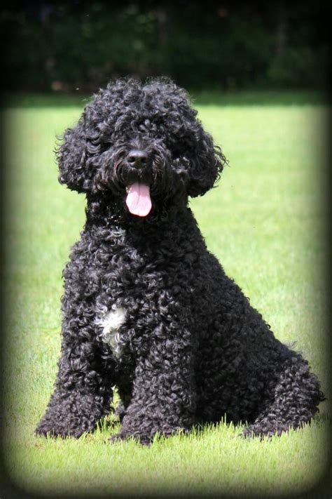 portuguese water dogs pin portuguese water pictures photos on
