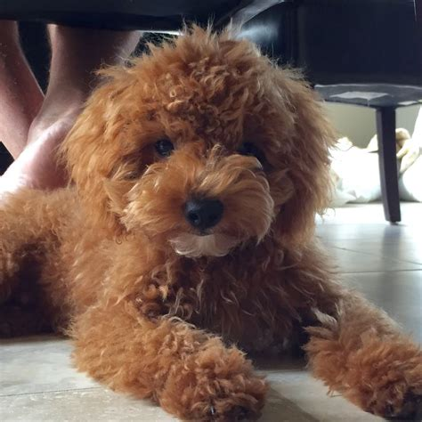 goldendoodle puppy toys 17 best ideas about goldendoodle on golden