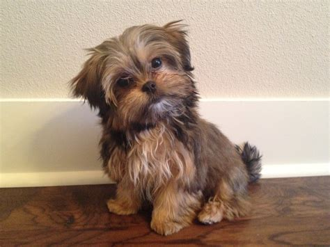 5 pound full grown teacup yorkie dog breeds picture
