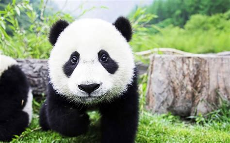 Panda Wallpaper Live panda live wallpaper android apps on play