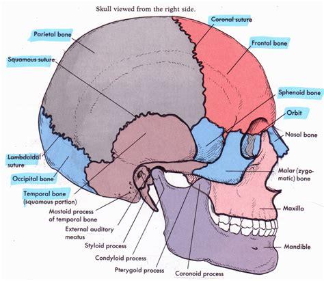 skull anatomy skull anatomy