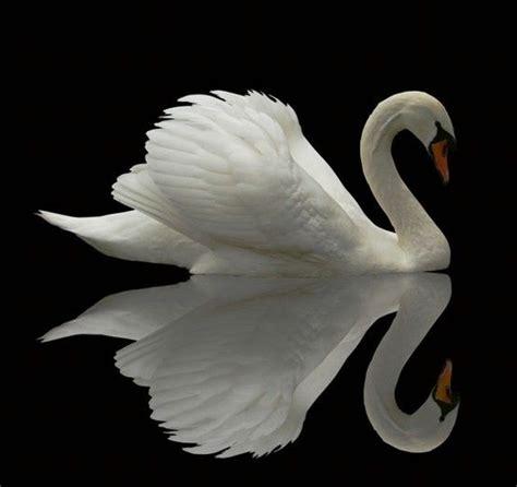 themes within black swan best 25 white swan ideas on pinterest beautiful swan