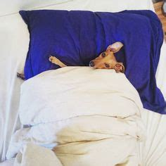 don t want to get out of bed love greyhound dogs on pinterest greyhounds whippets and italian greyhound