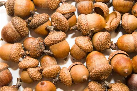 are acorns bad for dogs can dogs eat acorns or are acorns bad for dogs ultimate home