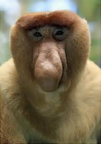 Our brother from another mother introduction proboscis monkeys