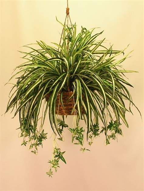 spider plant 25 best ideas about spider plants on pinterest plants