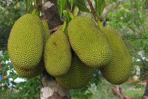 Imagenes De Jackfruit | 18 incredible benefits of jackfruit