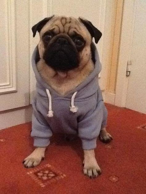 pug clothing pugs in clothes www imgkid the image kid has it