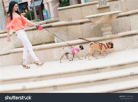 when do pug puppies start walking a walking three dogs of pug breed stock photo 130531946