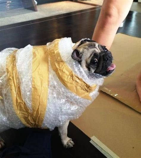 pug delivery 30 ridiculously hilarious pug costumes