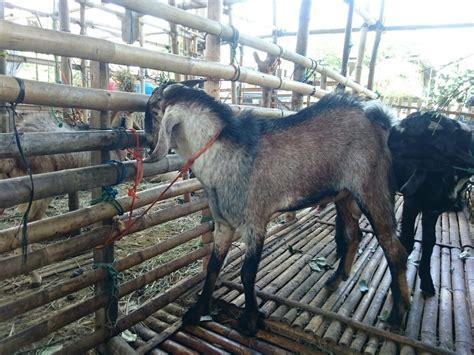 Kambing Murah kambing kurban murah dan sesuai syariat soleh aqiqah