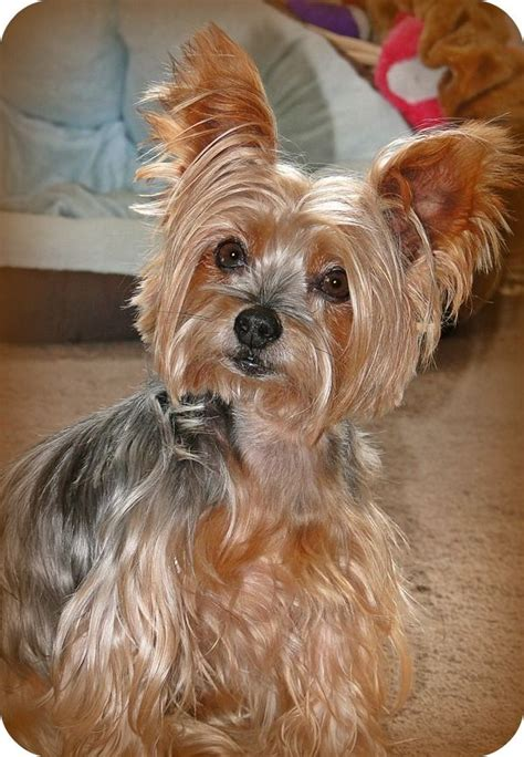 big yorkie breed my what big ears you i yorkies terrier