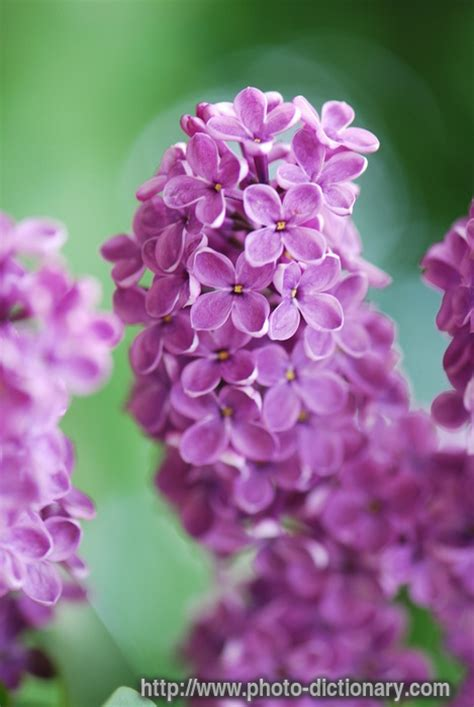 lilac photopicture definition  photo dictionary