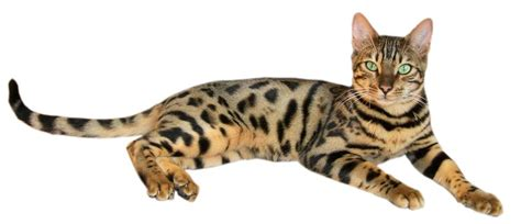 Ficheiro:Brown spotted tabby bengal cat ? Wikipédia, a