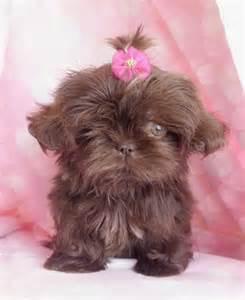 pretty shih tzu pretty chocolate shih tzu puppy