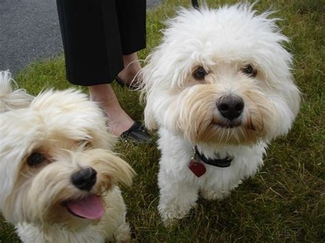 dogs similar to havanese havanese i dogs