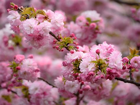 beautiful pink branch sakura japanese cherry flowers bloom