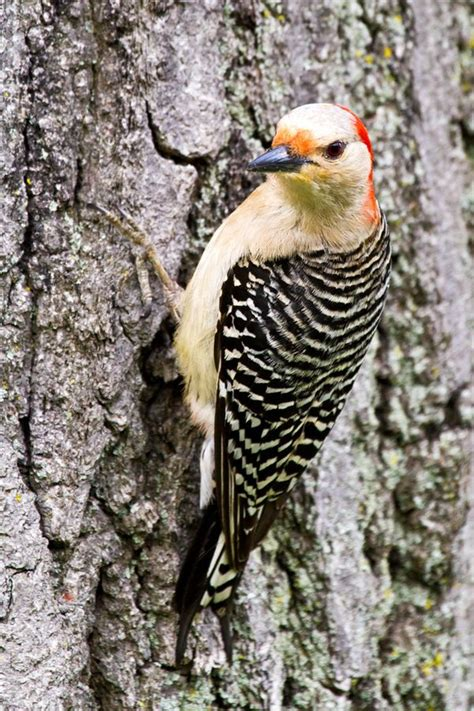 red bellied woodpecker michigan nature pinterest