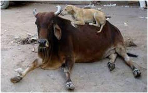 indian desi dog pariah dog  indog hubpages