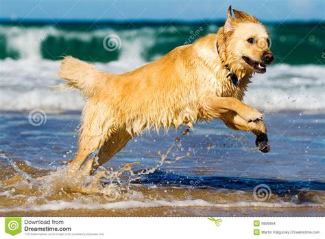 golden retriever jumping golden retriever jumping in the water stock images image 5956954