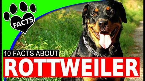 rottweiler dogs 101 dogs 101 rottweiler interesting facts most popular
