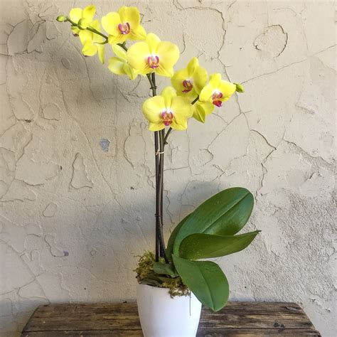 Orchid Yellow yellow phalaenopsis orchid in ceramic jungle