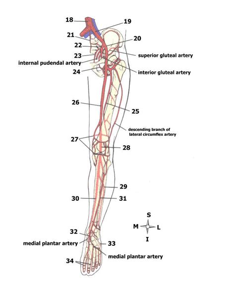 diagram of human arteries pictures of major arteries of the