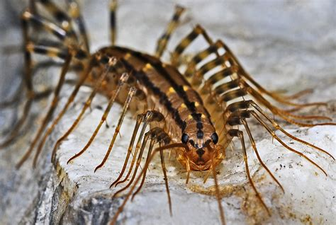 Centipede In Bathroom Brown Multi Leg Insect 183 Free Stock Photo