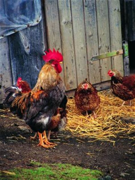 types  insects  chickens eat animals momme