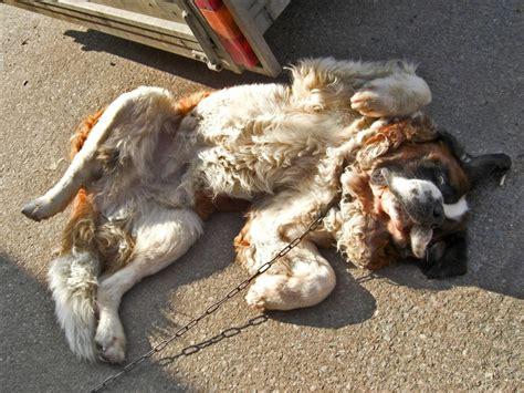 sarcoptic mange in dogs treating and eliminating sarcoptic mange