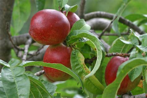 nectarine tree file 7 nectarine ripened fruit bunch sc vic aust jpg wikimedia commons