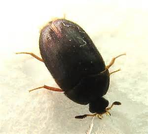 carpet beetle vs bed bug bugs that look like bed bugs with wings