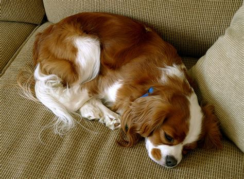 perfect house dogs 10 lazy dog breeds perfect for apartment living