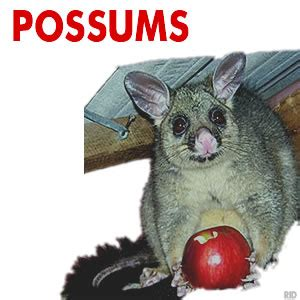 how to get rid of a possum in backyard possum removal ballarat rid pest control