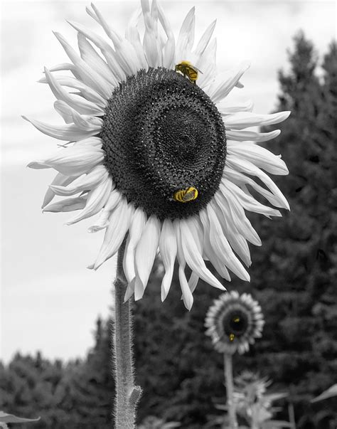 wallpaper hitam putih romantis foto wallpaper hitam putih gambar bunga mawar hitam putih