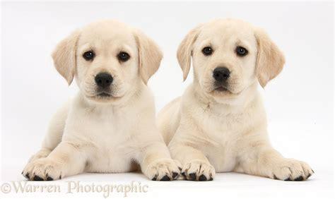 yellow lab puppies colorado dogs yellow labrador retriever puppies photo wp35256