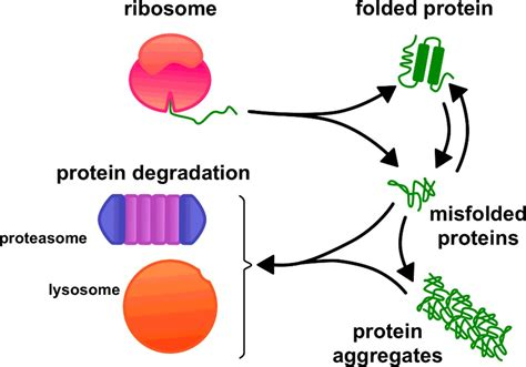 protein degradation cellular proteostasis degradation of misfolded proteins