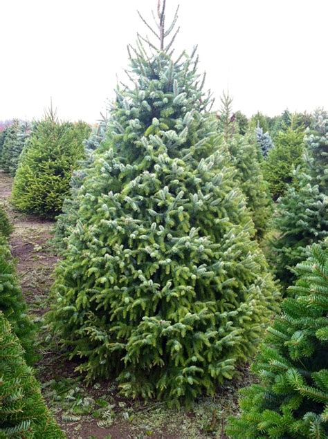 serbian spruce palmer s christmas trees