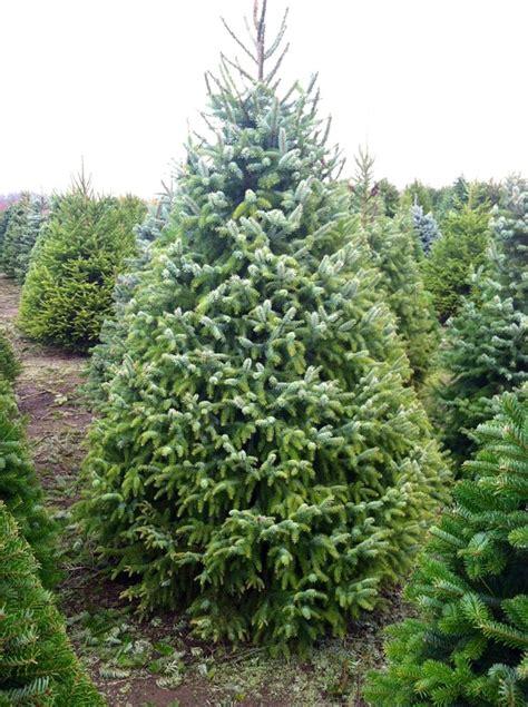 serbian spruce palmer s christmas trees