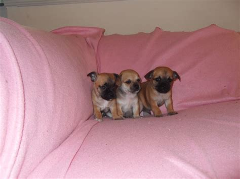 chihuahua pug puppies for sale pug x chihuahua puppies haverfordwest pembrokeshire pets4homes
