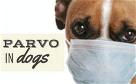 how can a puppy get parvo which vaccinations are necessary caninejournal